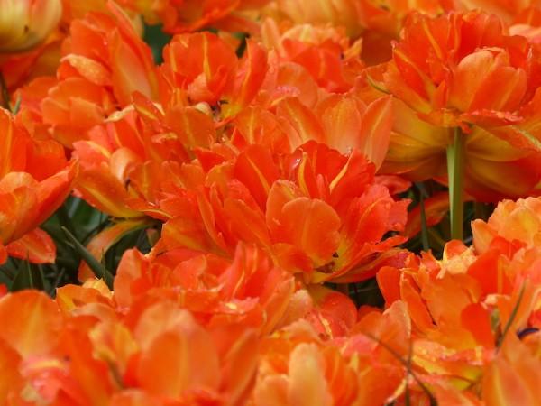 Tulpe Monte Orange