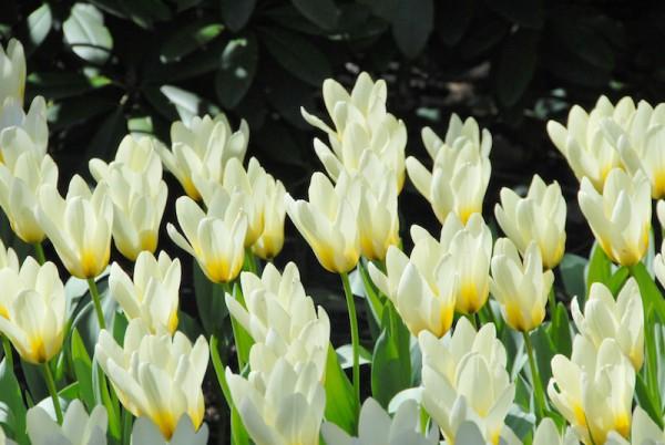 Tulpe Concerto