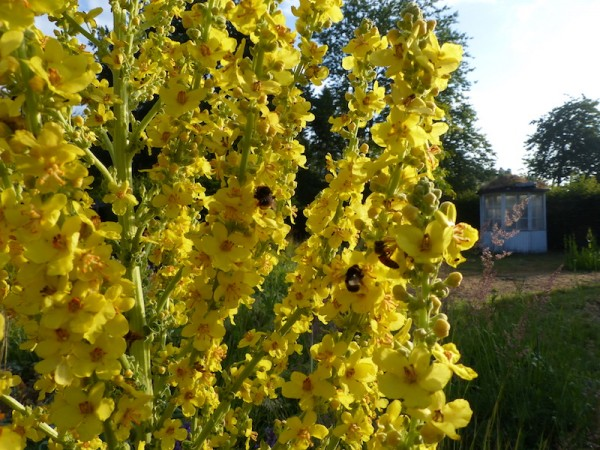 Verbascum olympicum wird sehr gern von Hummeln besucht.