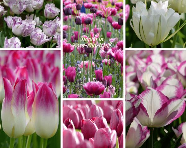 Tulpen in Rosa-Lila und Weiß