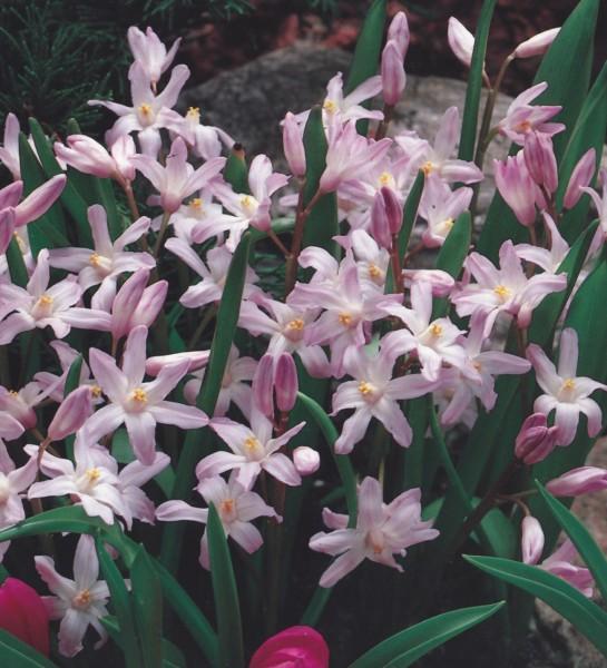 Chionodoxa forbesii 'Pink Giant' 40 Stück