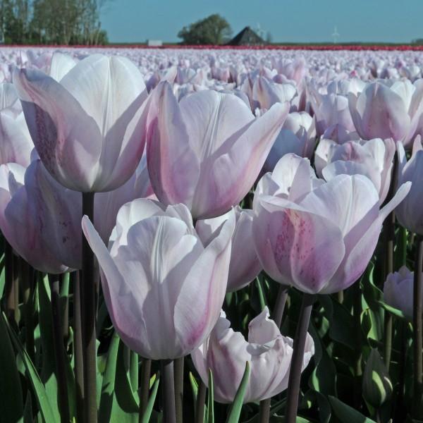 Tulpe Silver Cloud
