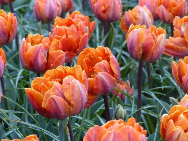 Tulpe Orange Princess