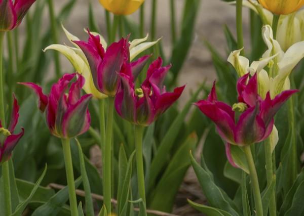 Tulpe Love Dance