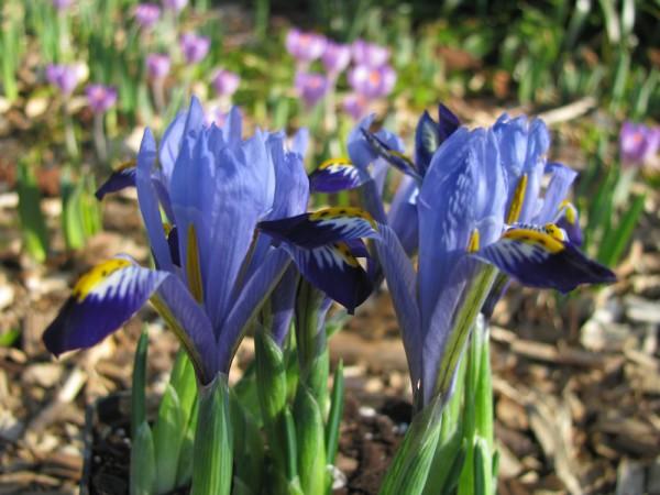 Iris reticulata 'Gordon' 25 Stück