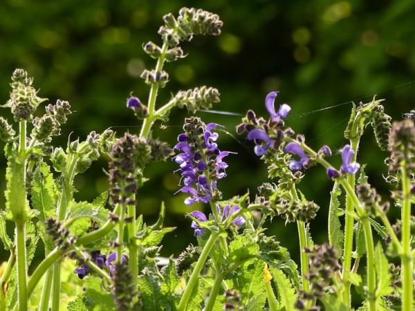 Wiesensalbei - Salvia pratensis