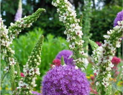 Fingerhut-Pflanze