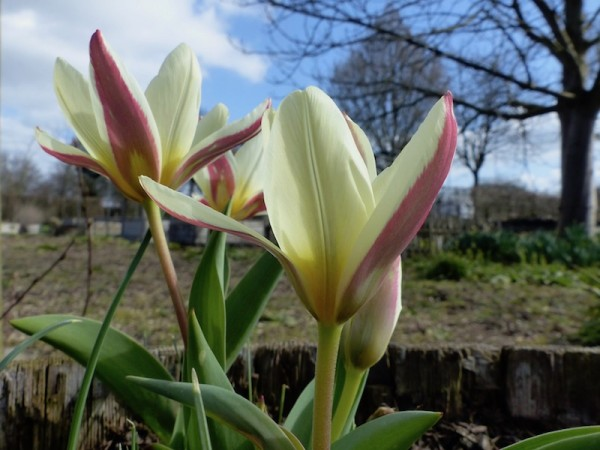Tulpe The First