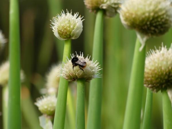 Allium fistulosum, die Winterheckenzwiebel