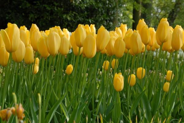 Tulpe Big Smile
