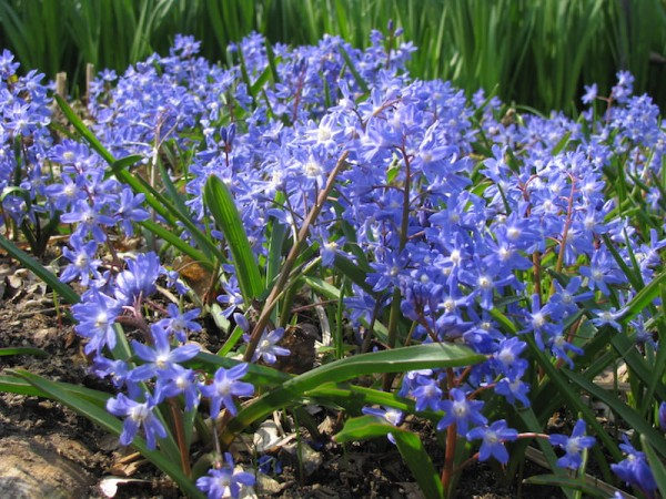 Sibirisches Blausternchen  Scilla siberica