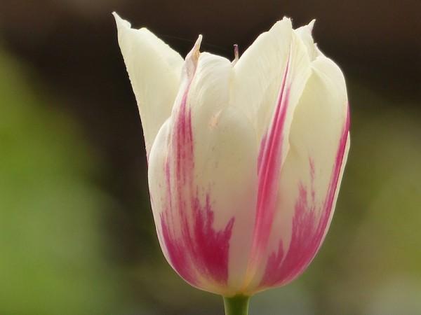 Tulpe Marjolettii