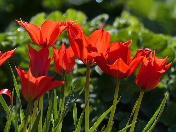 Tulpe Linifolia