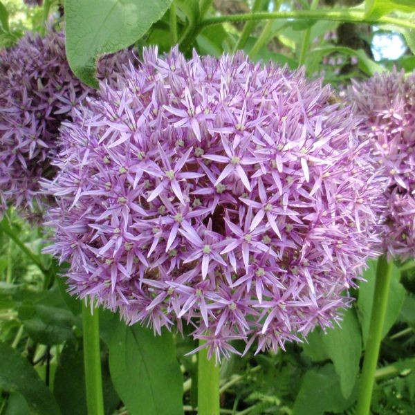 Allium 'Globemaster' 5 Stück