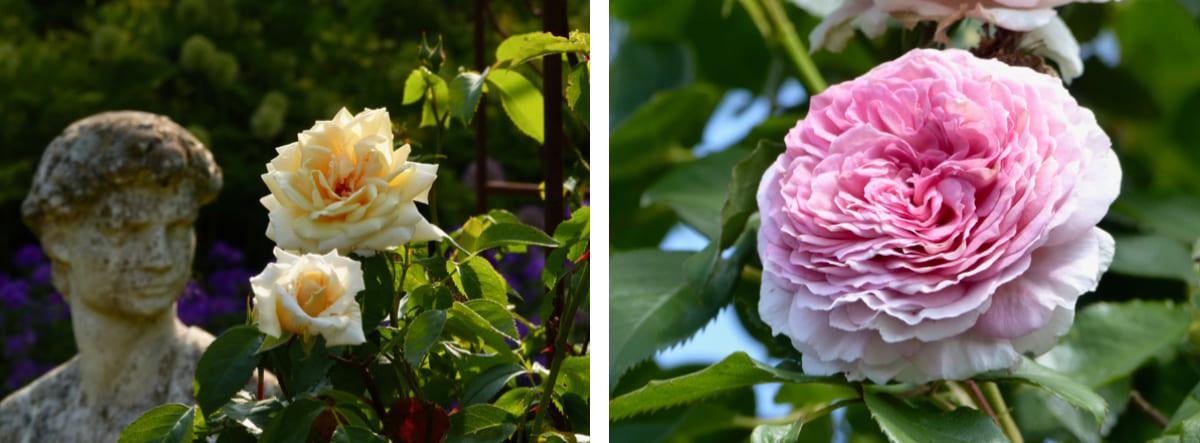 rosen-bilder-blogbeitrag-die-rose-koenigin-der-blumen