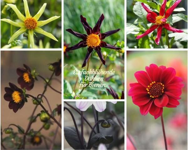 Ungefüllte Dahlien werden von Insekten sehr geschätzt