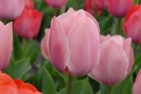 Tulpe Salmon van Eijk