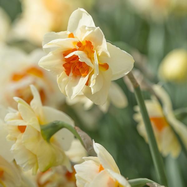 Narzisse Flower Parade