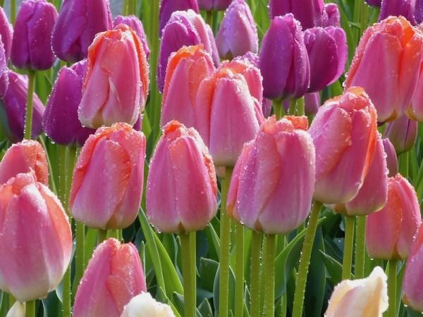 Tulpe Orange Pride