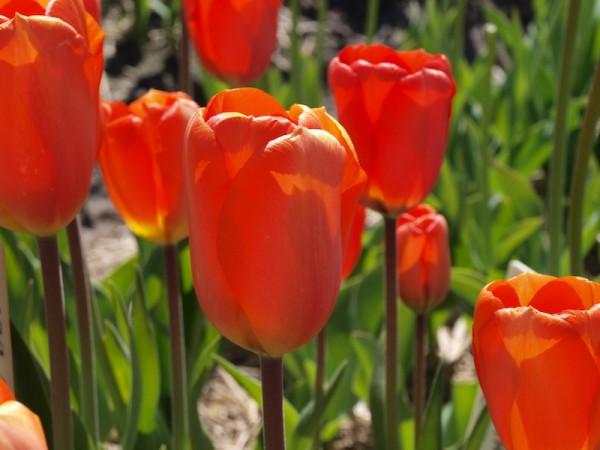 Tulpe Lighting Sun