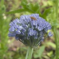 Allium caesium, der Blaulauch