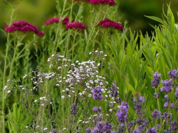 Rosenschleierkraut mit Schafgarbe und Lavendel