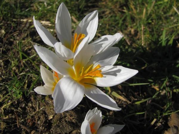 Crocus chrysanthus 'Snowbunting'