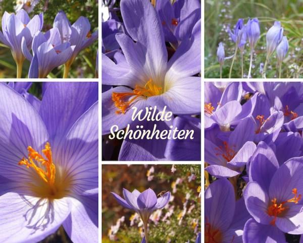Wilde Herbstkrokus-Schönheiten