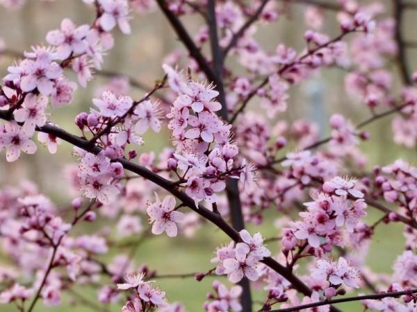 Rosa Schlehe - Prunus spinosa 'Rosea'