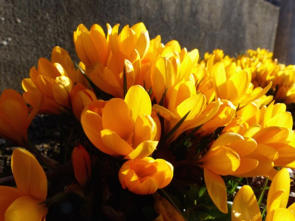 Crocus vernus 'Golden Yellow'