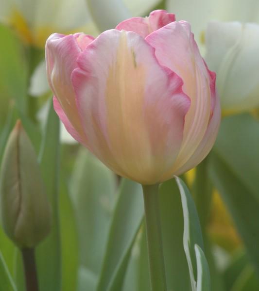 Tulpe New Design