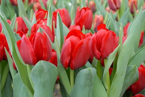 Tulpe Ile de France
