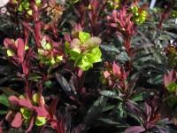 Wolfsmilchgewächse (Euphorbiaceae) - alle Nichtsukkulenten - Seite 4 EuphorbiaamygPurpurea3_200x200