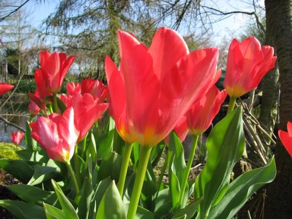 Tulpe Toronto