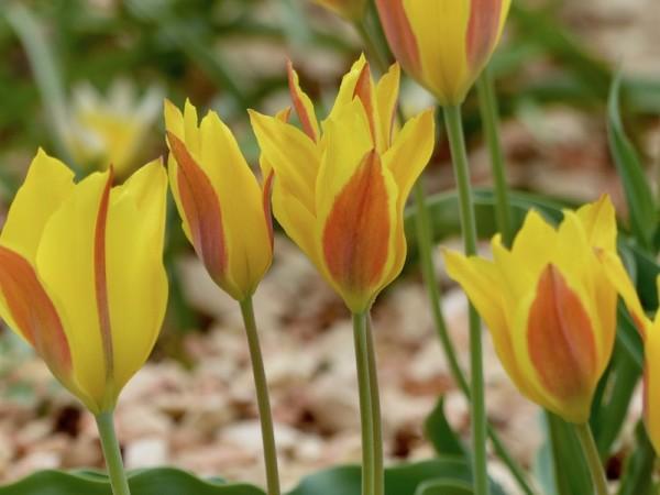 Tulpe kolpakowskiana