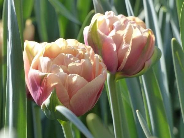 Tulpe La Belle Epoche
