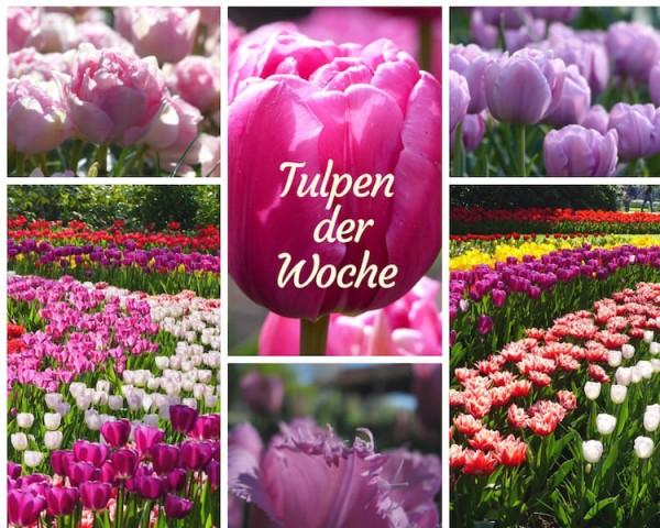 Tulpen der Woche