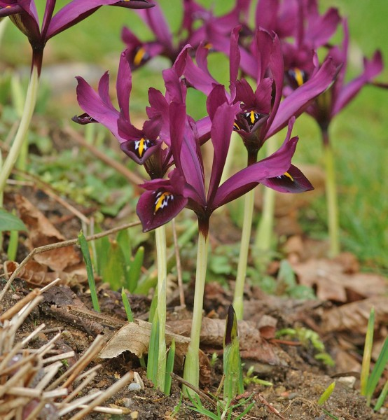 Iris reticulata 'J.S.Dijt' 25 Stück