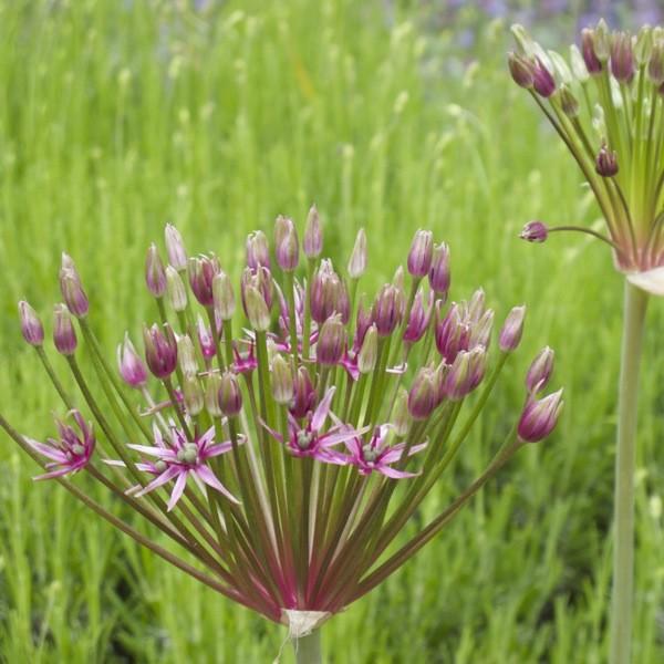Allium 'Spider' 3 Stück
