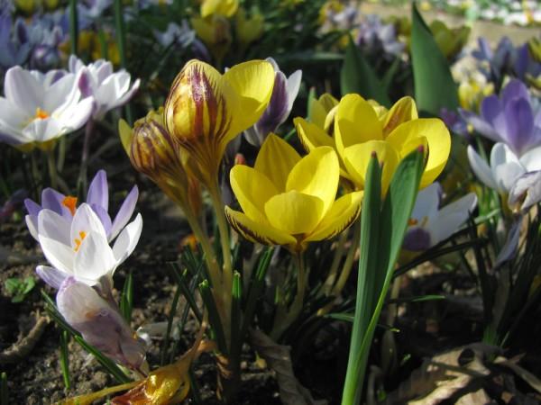 Crocus chrysanthus 'Fusco-Tinctus' 25 Stück