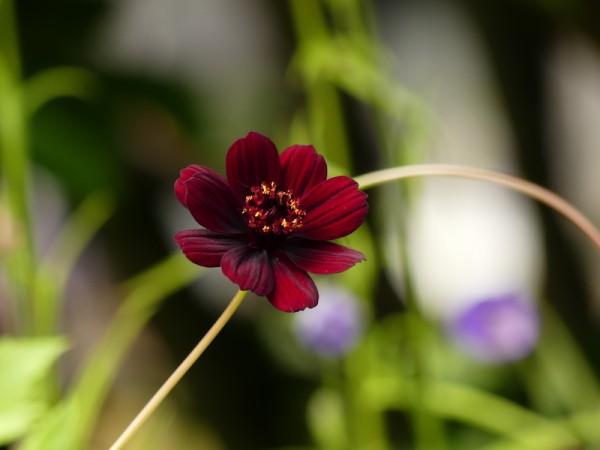 Schokoladenblume - Cosmos atrosanguineus