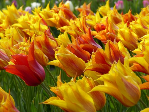 Tulpe Vendeglobe