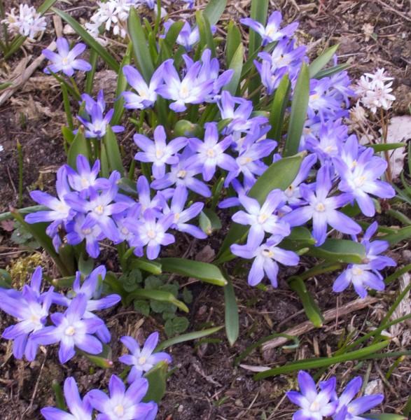Chionodoxa 'Violet Beauty' 40 Stück