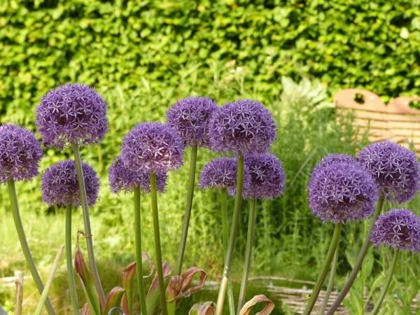 Allium Dutchman