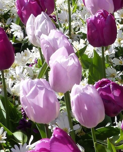 Tulpe Candy Prince