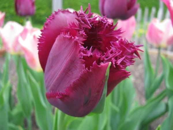 Tulpe Curley Sue