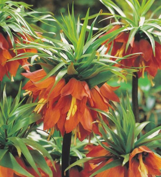 Fritillaria imperialis 'Rubra Maxima'