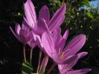 Herbstzeitlose Lilac Wonder