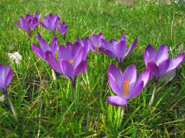 Crocus tommasinianus 'Barr's Purple' 25 Stück