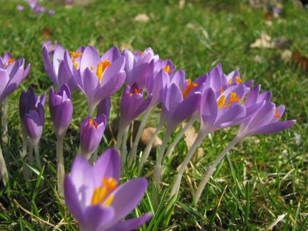 Crocus tommasinianus 'Whitewell Purple' 50 Stück
